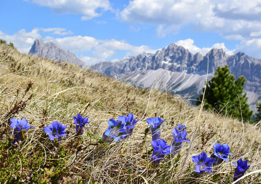 Several blue gentian grow on a summer meadow in the mountains of South Tyrol.